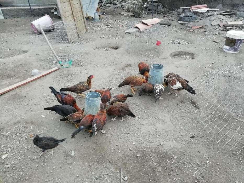 <strong>pollos</strong> en Desarrollo de 3 Meses