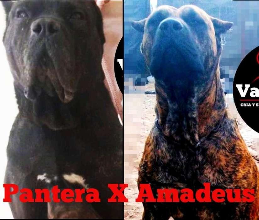 Cachorros Presa Canario