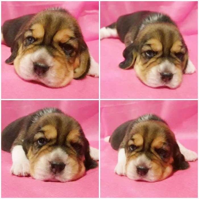 Preciosa Cachorrita Beagle