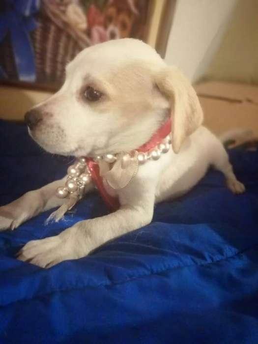 Hermosas Cachorritas <strong>beagle</strong>
