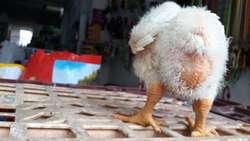Pollo de Recria