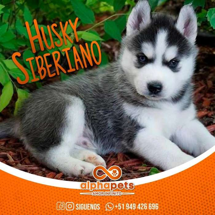 <strong>cachorro</strong>S SIBERIANO HUSKY LOS MEJORES <strong>cachorro</strong>S DEL PERU