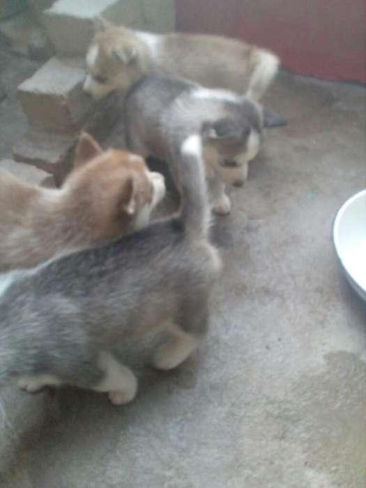 Se Vende <strong>cachorro</strong>s Husky Siberianos