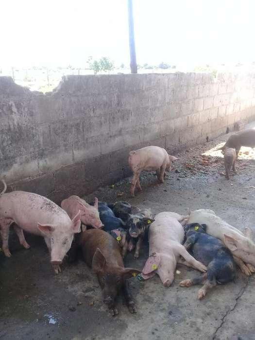 <strong>cerdo</strong> de Buena Raza