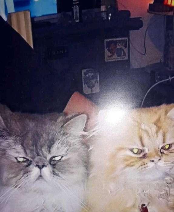 Gatos Persas de 3 Y 1 Año