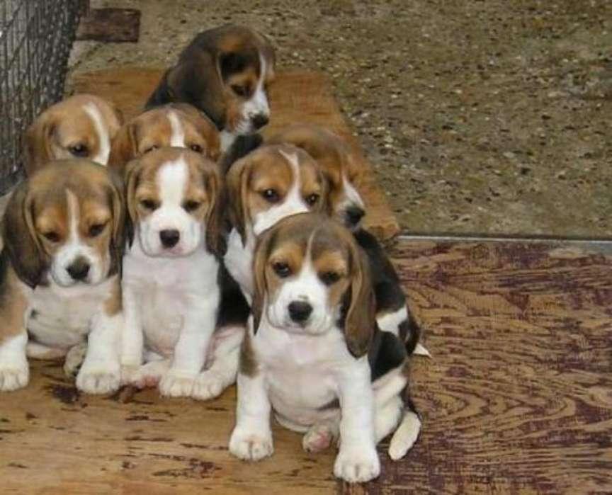 <strong>beagle</strong> de Venta