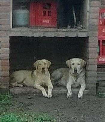 LABRADORES RETRIEVER Cachorros ARENA (últimos 2 machos)