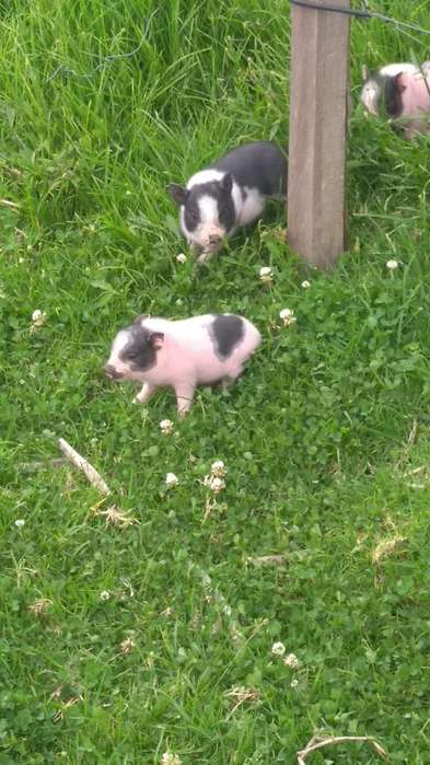 Mini pig potbelly