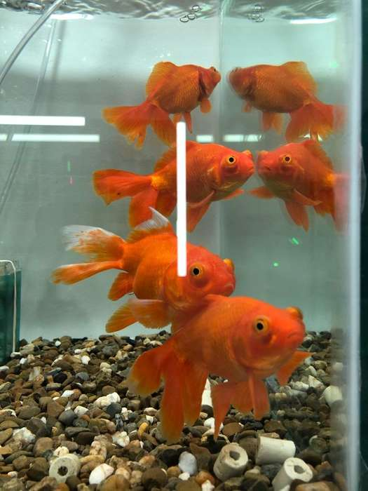<strong>peces</strong> Tropicales Golfish
