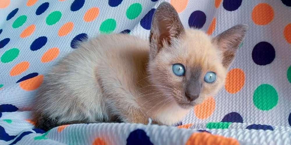 <strong>gato</strong>s Siames Hembra Blue Point Preciosa