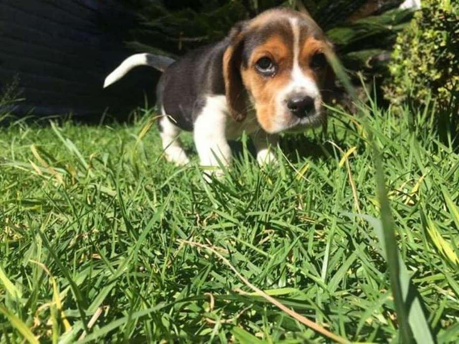 Super Fantastico <strong>beagle</strong> Enano