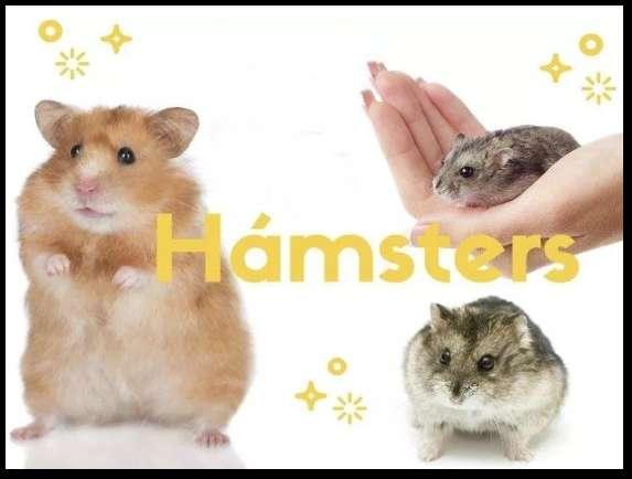 Hamsters rusos de venta
