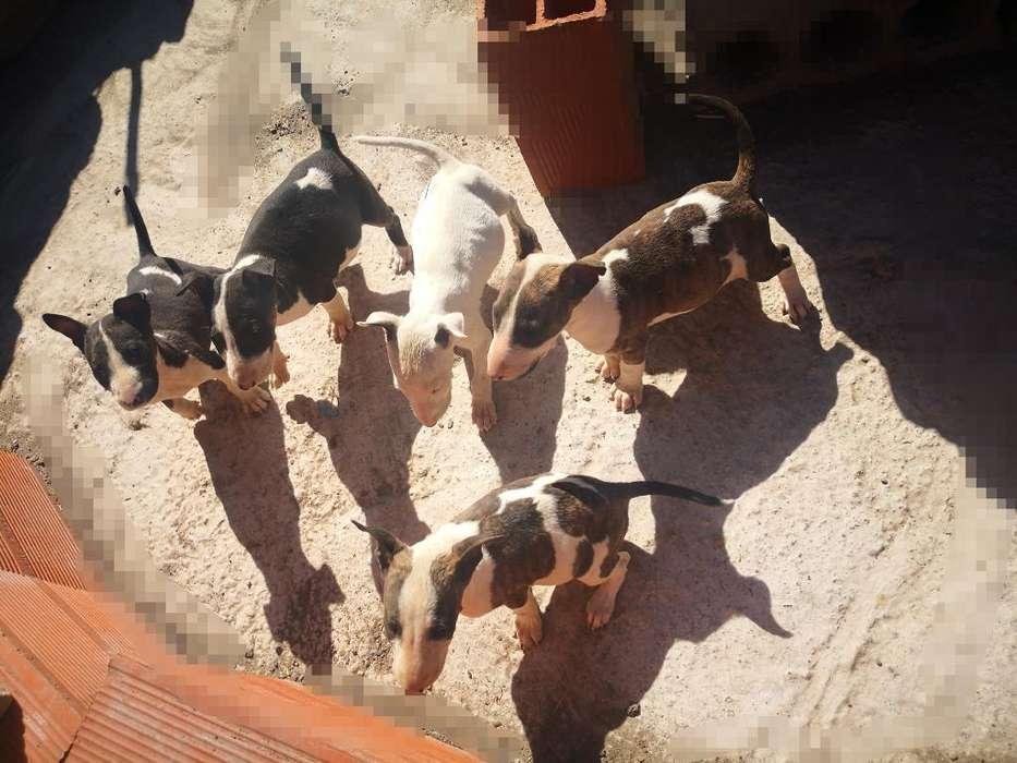Vendo Bull Terrier