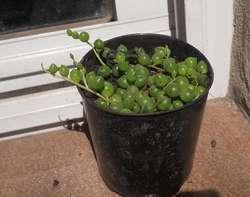 senecio rowleyanus , rosario maceta 10