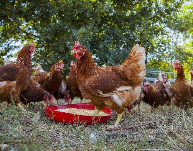 <strong>pollos</strong> DE CAMPO AL POR MAYOR Y MENOR