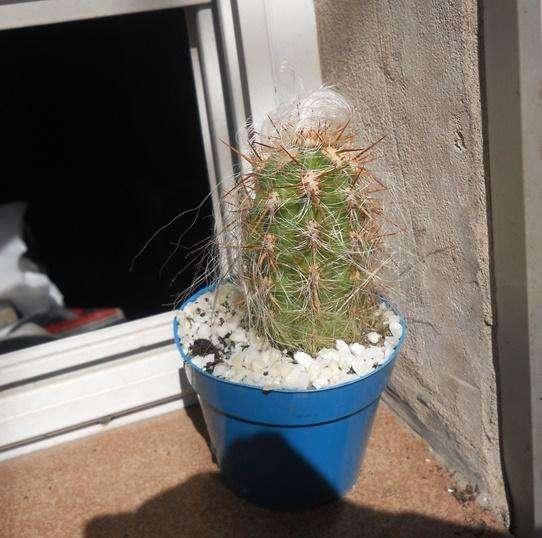 cactus orocereus maceta 10 alto