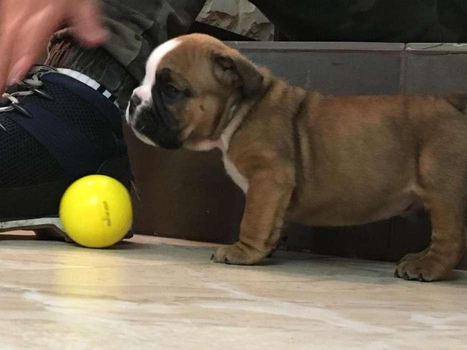 Hermoso <strong>bulldog</strong> Inglés