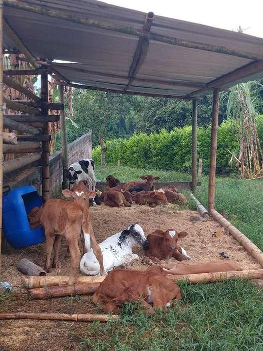 Vacas Y Terneras