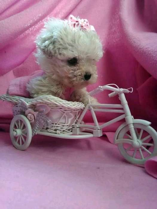 Hermosos Cachorros Caniches Miniatura