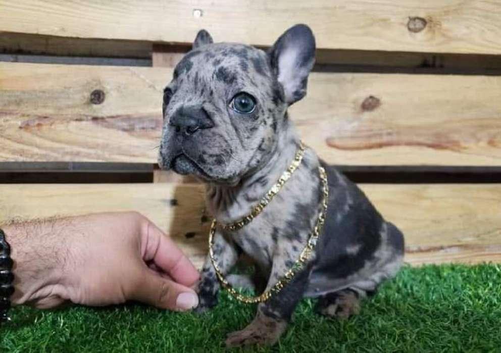 Bulldog Francés Black Merle Hembra