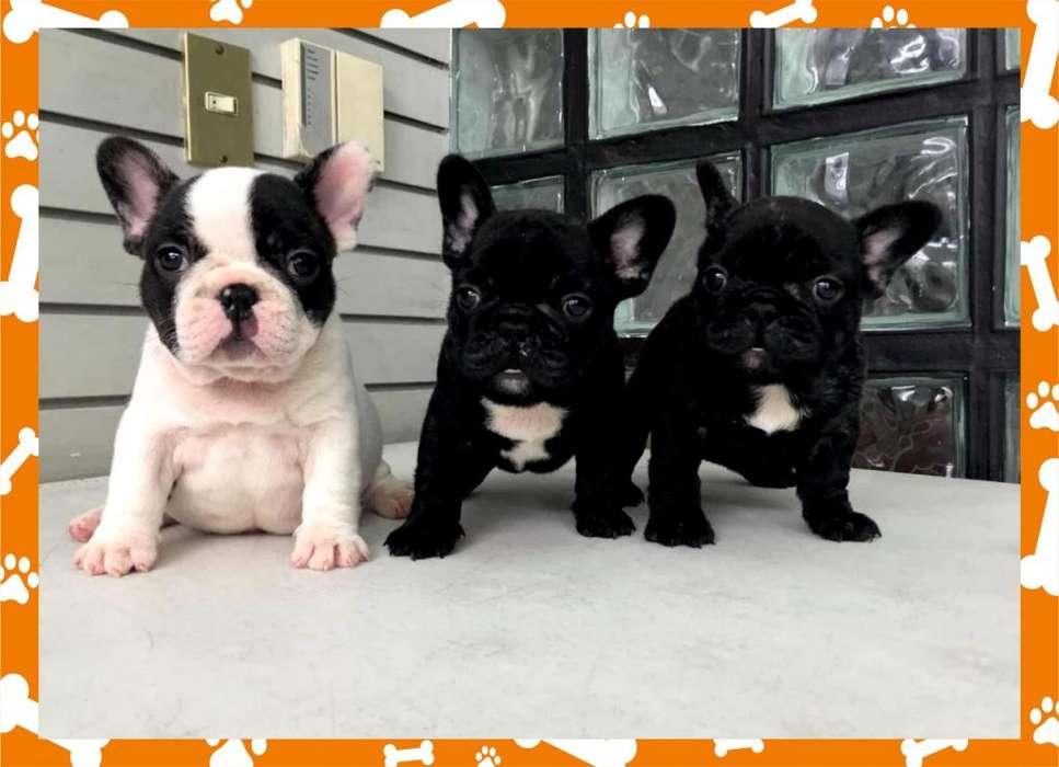 <strong>bulldog</strong> FRANCES MACHITOS NEGROS Y VAQUITAS!! ACEPTO TARJETAS/ENVIOS