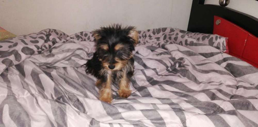 Hermoso Mini Yorkshire Terrier