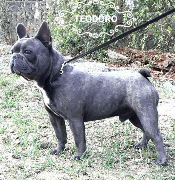 Bulldog Frances Blue en Servicio de Stud