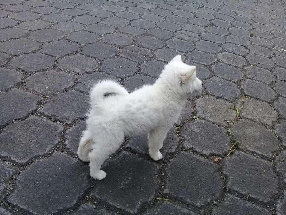 Sevende Cachorros Samoyedo