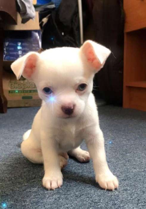 Chihuahua Cabeza de Manzana Blanco