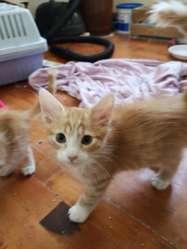 Gatitos Pequeños en Adopción Responsable
