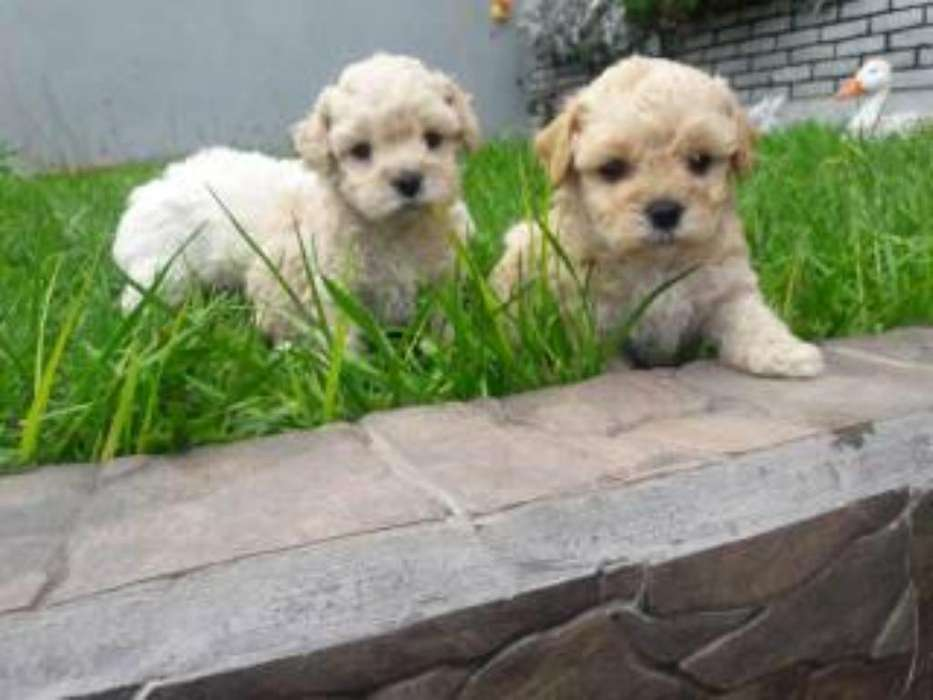 French Poodle Preciosos Originales