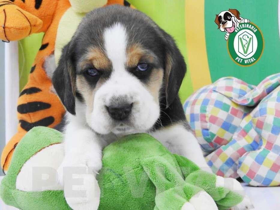 <strong>cachorro</strong>S BELLOS BEAGLE TRICOLOR EN PET VITAL !!