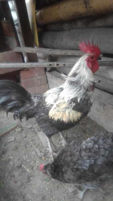 Vendo gallo 60 soles
