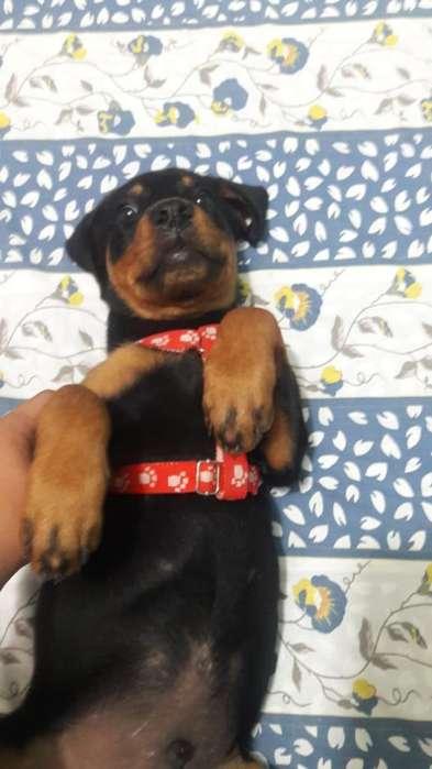 Hermoso Cachorro Rottweiler
