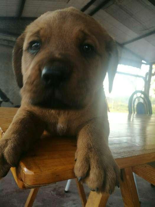 Dogo de Burdeos Cruza con Rottweiler