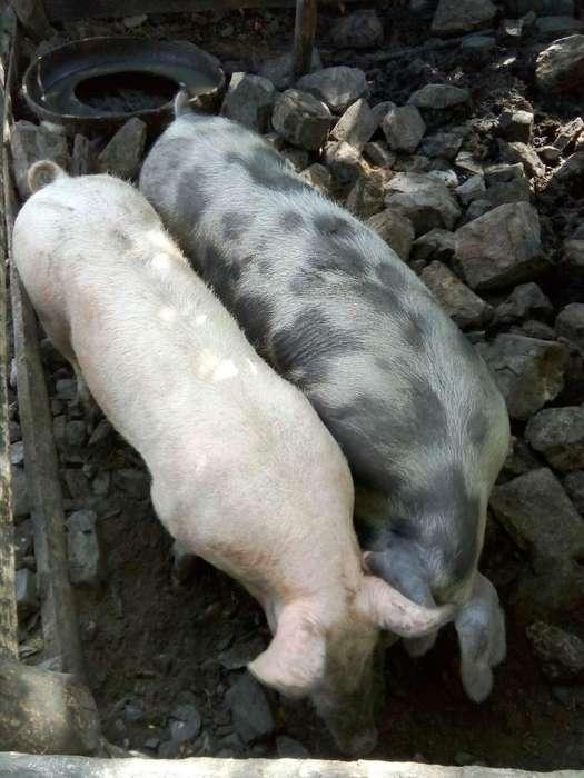 Se Vende Cerdo Hembra