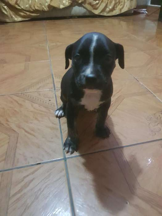 Venta de Cachorro Raza Pitbull (hembrita
