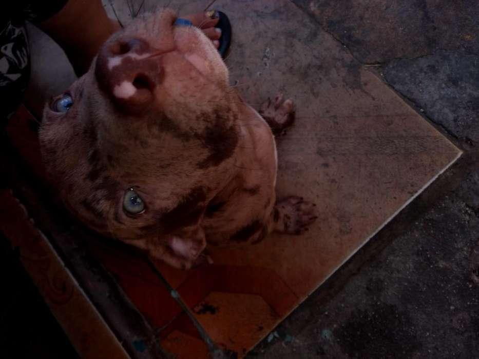 <strong>cachorro</strong> Pitbull