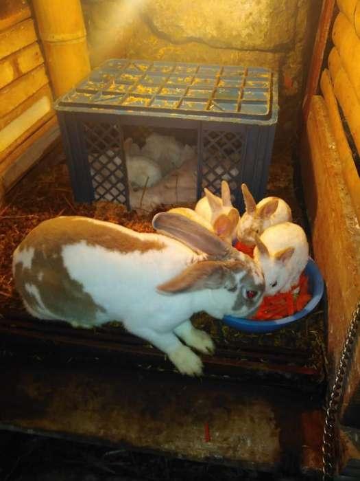 Se Vende Hermosos Conejos