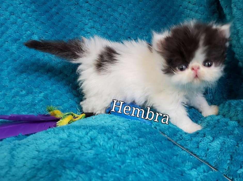 Gatos Persa ,gatitos Persa ,himalaya