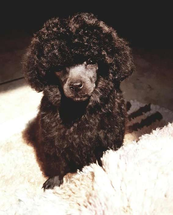 Black Mini Toy French Poodle