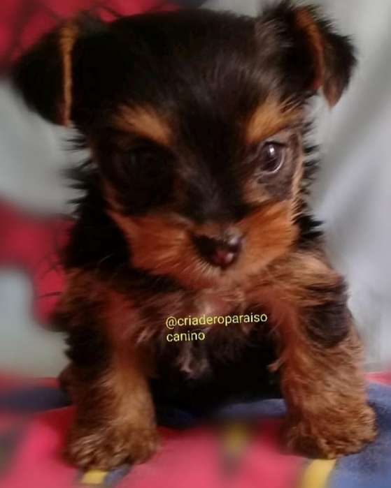 Cachorrito Yorkshire <strong>terrier</strong> Mini