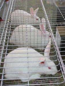 Conejos Nueva Zelanda Bogotá 3224499925