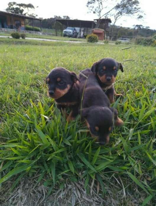 Vendo Hermosos Cachorros <strong>rottweiler</strong>