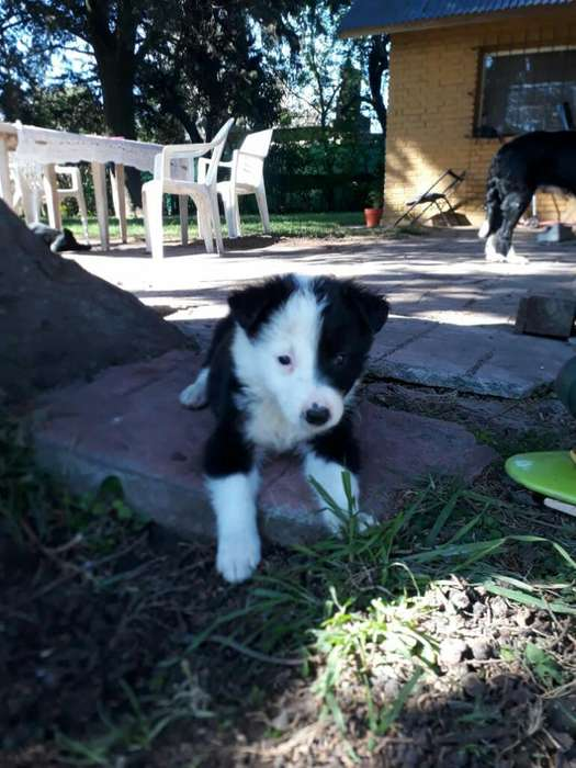 Border Collie Cachorros en Venta