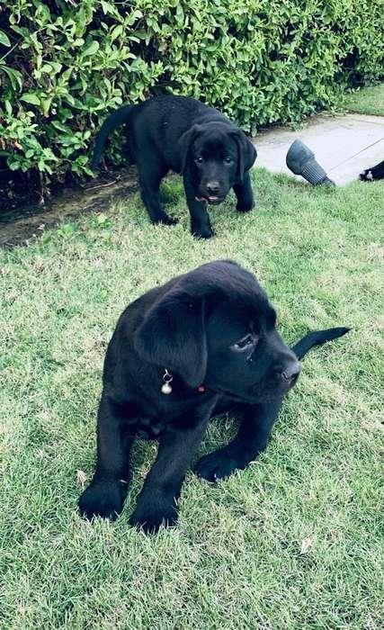 Cachorros Labradores <strong>pedigri</strong> Y Vacunas