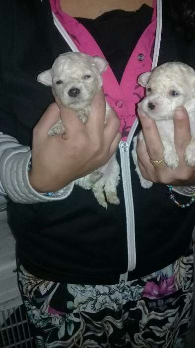 Caniches Mimi Toy