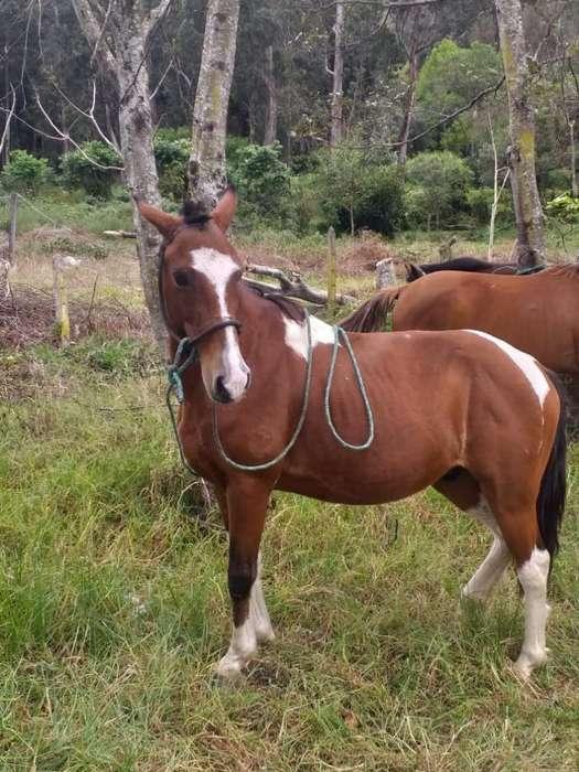 <strong>caballo</strong> de Paso