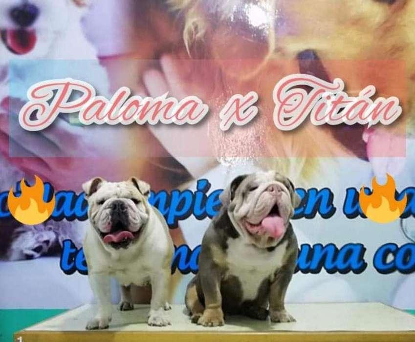 Bulldog Inglés Portadores Triple Carrier