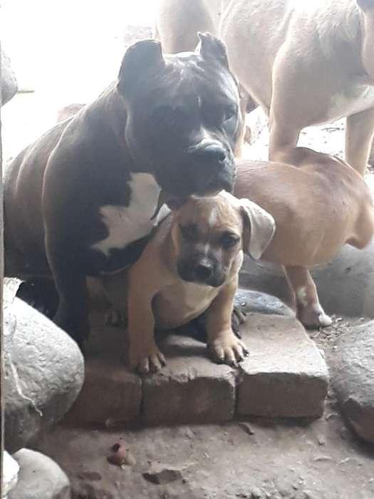 Cachorros American Bully X Fusion